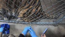 Big cats, bears, ferrets get experimental Covid vaccine at Oakland Zoo