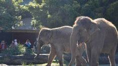 Hopes for elephant herd at Auckland Zoo