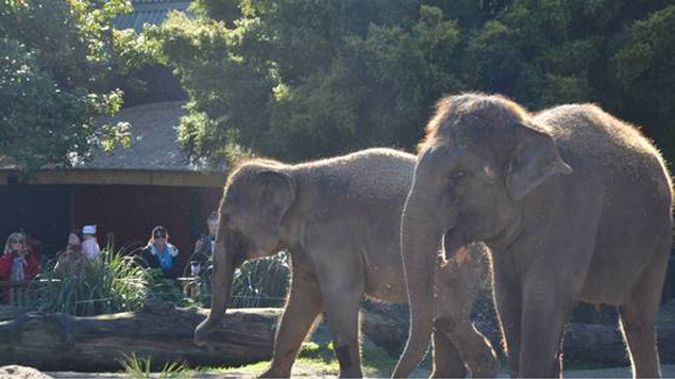 Anjalee and Burma at Auckland Zoo (NZ Herald)