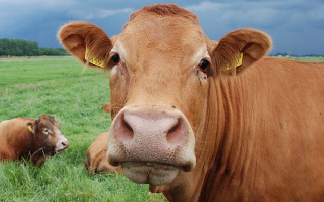 Cows in the European Union receive a government subsidy of $2.20 a day - making them richer than 1.2billion of the world's poorest people