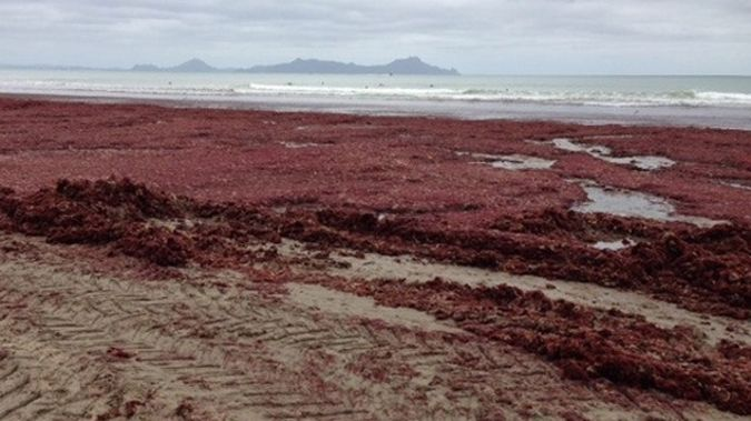The red algae on a beach in Northland (Photo: Anton and Lucy Trist)
