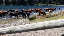Thirsty cows controversy: Cattle belong to top judge
