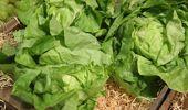 Caller of the Night: Kelvin - Making lettuce soup