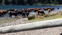 Thirsty cows: No legal action taken