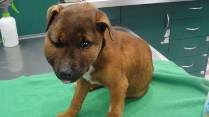 Puppy Kia in a beaten state on arrival at the vet clinic in Christchurch (Supplied).