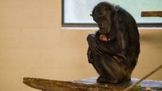 'Chimpy McChimpface' leads name suggestions for Hamilton Zoo's baby chimp