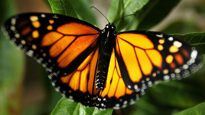 Monarch Butterflies Decorating Christchurch Parks