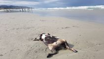 Dead cows wash up on Dunedin beach