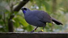 Kōkako crowned NZ's Bird of the Year