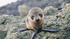 Homeless quake seals find new colony