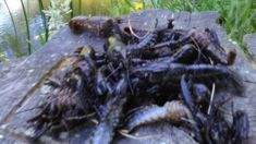 Hundreds of dead crays wash up in Waikato
