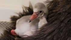 Auckland Zoo tickled pink at arrival of second-ever flamingo chick