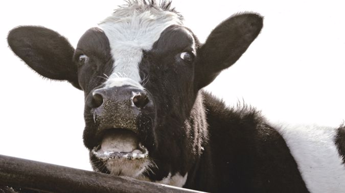 A herd of 200 cows in Matamata is in quarantine after the discovery of an outbreak of bovine tuberculosis late last year (iStock)