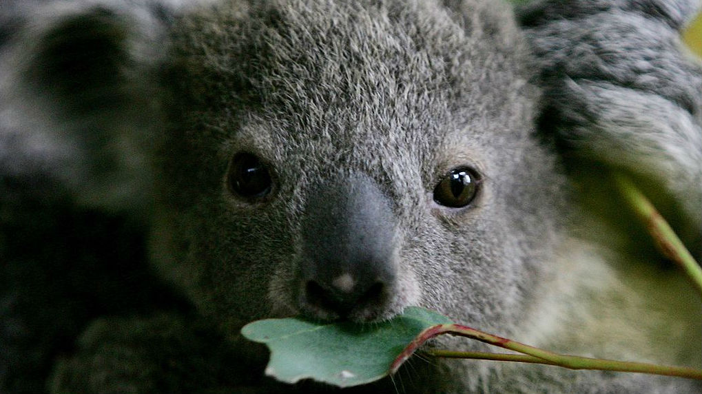 Three baby koalas stolen from RSPCA care, Australia police say