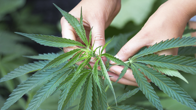 A New Zealand man has been arrested in Ireland, after police swooped on a cannabis growing operation. (iStock)