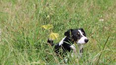 Plucky pooch saves farmers from invasive weed