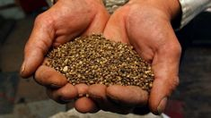 David Bennett: Hemp seed to be legalised as food