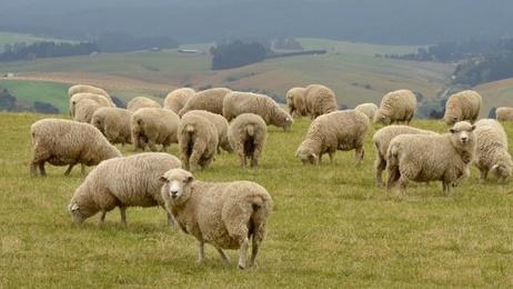 Supply chain lamb nz