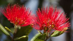 Northland residents urged to inspect native plants for myrtle rust