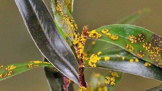 Officials say a myrtle rust outbreak in New Zealand is becoming increasingly unavoidable. (File photo)