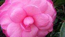 Jacque Tucker: Camellias