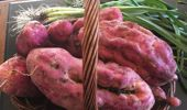 Jacque Tucker: The Great Kumara Crisis (and other vegetable madness)