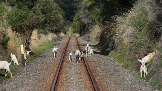 The Gisborne rail line, pictured here with goats running amok,  is one the Party wants to focus on first (NZH).