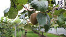 Kiwifruit operators shamed in damning report