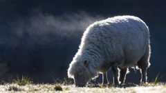 Steam pours off into the cold air as a sheep begins to thaw-out from this mornings severe frost in the Bay of Plenty. Photo / Alan Gibson