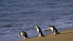 Fears 'hundreds' of yellow-eyed penguins killed in fishing nets
