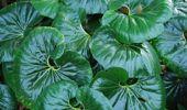 Ligularia reniformis (Image / Jacque Tucker)