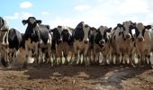 Two men involved in the largest case of animal neglect in the South Island dairy sector have avoided jail. File Photo.