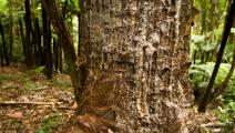 Kauri dieback fight needs money