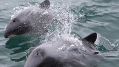Sea Shepherd steps in to protect Hector's dolphins