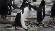 Penguins make NZ election prediction