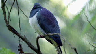 'Great Kereru Count' aims to protect our native wood pigeon