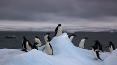 Catastrophic year for Adelie penguin as only two chicks survive