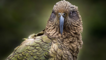 Kea named Bird of the Year after heated competition