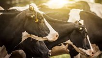 Thousands of cows will be killed to stop disease from spreading