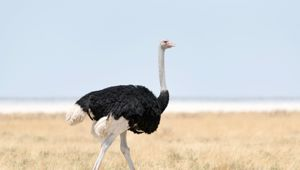 Ostrich eggs weigh around 1.5 kgs. Photo/Getty