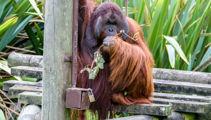 Orangutans arrive in Christchurch after fog delay