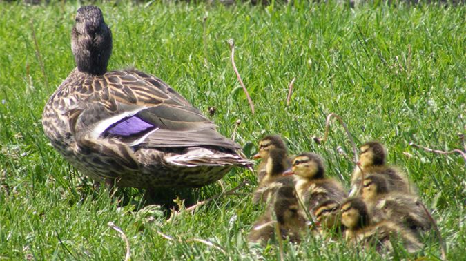 Duck and Ducklings (Photo \ Stock)