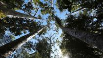 Rachel Smalley: Kauri dieback - why wasn't something done sooner?