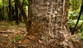 A kauri tree in the Huia Forest in the Waitakere Ranges which is suffering from kauri dieback. (Photo \ NZ Herald)