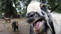 Screaming goat causes confusion for police