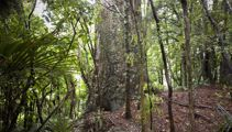Government could close Waitakere Ranges over kauri safety