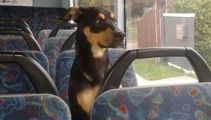 Curious puppy catches bus on his own