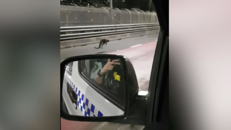 Wallaby great helps save wallaby from Sydney Harbour Bridge