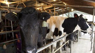 Cattle disease now on 17 farms