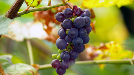 Philip Gregan: Grape growers struggling to find workers